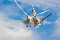 Seagulls flying with open wings over blue sky. Royalty Free Stock Photo