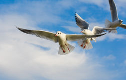Seagulls flying with open wings over blue sky. Royalty Free Stock Image