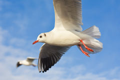 Seagulls flying with open wings over blue sky. Seagulls flying with open wings over blue sky, isolated Royalty Free Stock Image