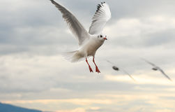 Seagulls flying with open wings over sky with clouds. Royalty Free Stock Photos