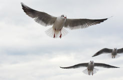 Seagulls flying with open wings over sky with clouds. Royalty Free Stock Photography
