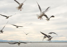 Seagulls flying with open wings over sky with clouds. Stock Image