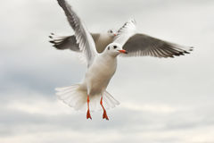 Seagulls flying with open wings over sky with clouds. Royalty Free Stock Images