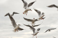 Seagulls flying with open wings over sky with clouds. Stock Photography