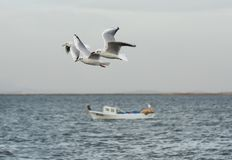 Seagulls flying with open wings on the sea. Royalty Free Stock Photography