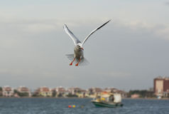 Seagulls flying with open wings on the sea. Stock Images