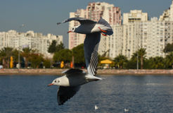 Seagulls flying with open wings on the sea. Royalty Free Stock Photos