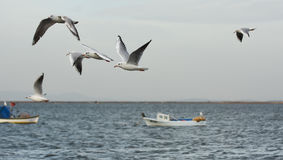 Seagulls flying with open wings on the sea. Royalty Free Stock Photo