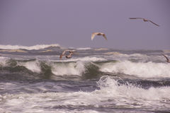 Seagulls flying out over incoming surf Royalty Free Stock Images