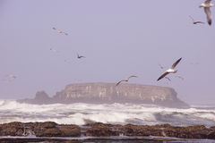 Seagulls flying out over incoming surf Royalty Free Stock Image