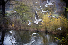 Seagulls flying over autumnal pond Royalty Free Stock Images