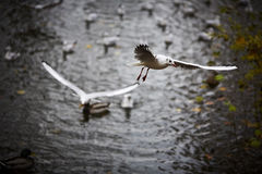 Seagulls flying over autumnal pond Royalty Free Stock Photos