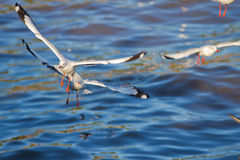 Seagulls Flying. Over BANG-PU seaside in Thailand Royalty Free Stock Images
