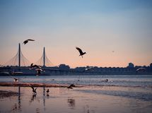 Seagulls are flying over a bay on the sunset royalty free stock images
