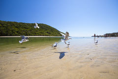 Seagulls flying over beach Stock Images