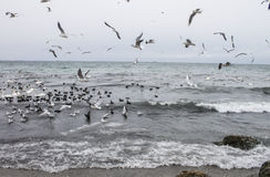Seagulls flying over the Black Sea, winter Royalty Free Stock Photos