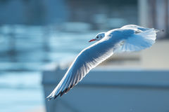 Seagulls flying over boats Royalty Free Stock Images