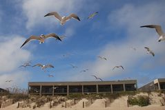 Seagulls Flying Over Dunes Royalty Free Stock Images