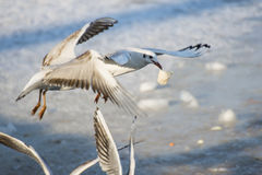 Seagulls flying over the frozen river. Seagulls fighting for lunch while flying Stock Image