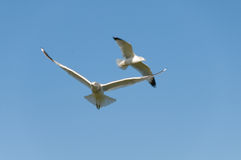 Seagulls flying over lake. royalty free stock photography