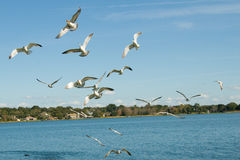Seagulls flying over lake. Stock Photos