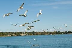 Seagulls flying over lake. Stock Photos