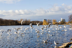 Seagulls Flying. Over the lake at park in Malmo, Sweden Stock Photos