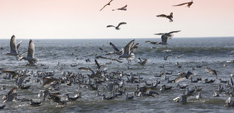 Seagulls flying over the ocean Royalty Free Stock Photography
