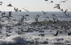 Seagulls flying over the ocean Royalty Free Stock Photos