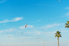 Seagulls flying over palm trees in La Jolla beach Stock Image