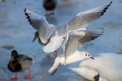 Seagulls flying over the river. Seagulls flying over the frozen river royalty free stock photography