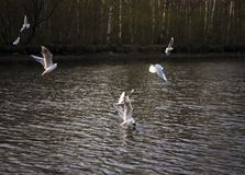 Seagulls flying over the river royalty free stock photo