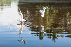 The seagulls flying over the river in summer day Stock Photo