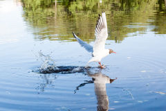 The seagulls flying over the river in summer day Stock Photos