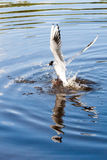 The seagulls flying over the river in summer day Royalty Free Stock Photos