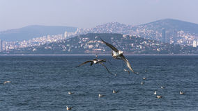 Seagulls flying over the sea Stock Image