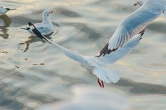 Seagulls are flying over the sea surface. royalty free stock photography