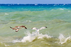 Seagulls flying over the sea Royalty Free Stock Photo