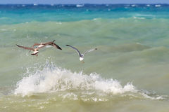 Seagulls flying over the sea. Royalty Free Stock Images