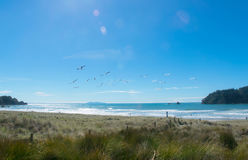 Seagulls flying over tranquil tauranga beach nz Stock Images