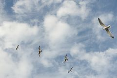 Seagulls flying stock image