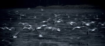 Seagulls flying over water, cool tone, horizontal stock image