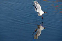 Seagulls flying Royalty Free Stock Image