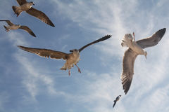 Seagulls flying. Several seagulls fly, some plan others turn around Stock Photography