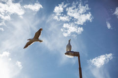 Seagulls flying and sitting on a streetlight. Big seagulls, one in flight and other just sitting on a lamp. Beautiful blue sky and white clouds Stock Photos