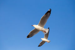 Seagulls flying in the sky. Seagulls with background of clear sky Royalty Free Stock Images