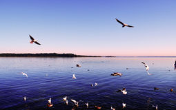 Seagulls Flying In The Sky Over The Lake Stock Image