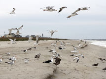 Seagulls Flying, Standing and Eating on the Beach. Many seagulls on Caswell Beach, North Carolina in flight, walking or eating on the sand. Wild seagull birds royalty free stock photos