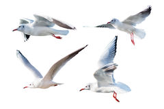 Seagulls flying style Isolated on white background. Stock Photo