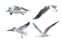 Seagulls flying style Isolated on white background. Stock Images